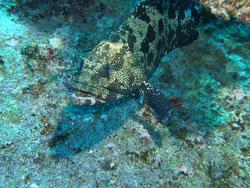 BD-051016-Hurghada-160192-Epinephelus-polyphekadion-(Bleeker.-1849)-[Camouflage-grouper].jpg